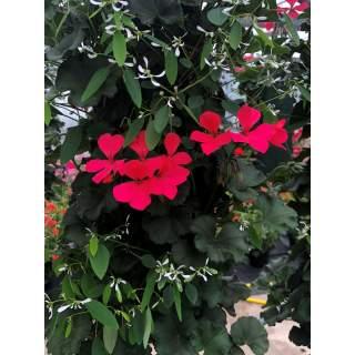 Sacs suspendus geraniums euporbes