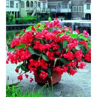 Begonia Dragon gros pots