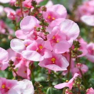 6 Diascias roses