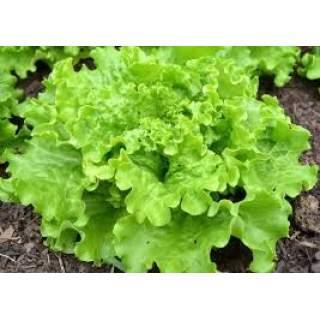 6 plants de salades