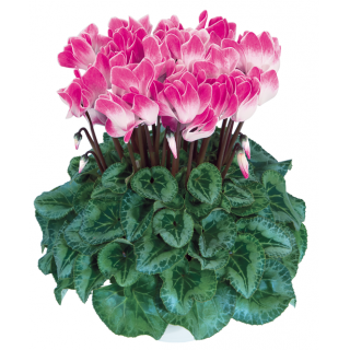 Gros cyclamen funflame