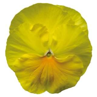 10 pensées jaune pure
