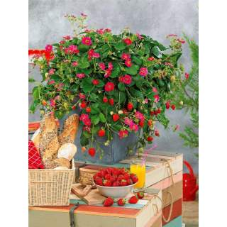 suspensions fraises fleurs roses
