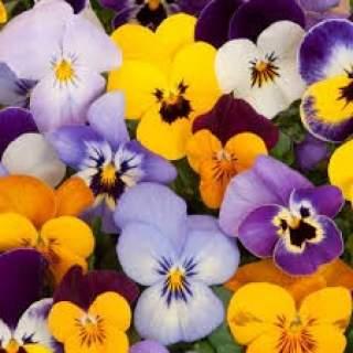 10 pensées petites fleurs